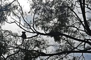 Eucalyptus Tree - A Habitat for Native birds
