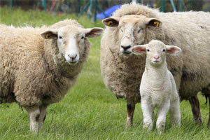 How Sheep Wool Can Act As A Natural Insulator?