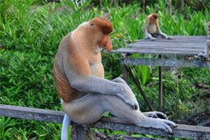 Proboscis Monkeys - One Of East Kalimantan's Oldest Native Species